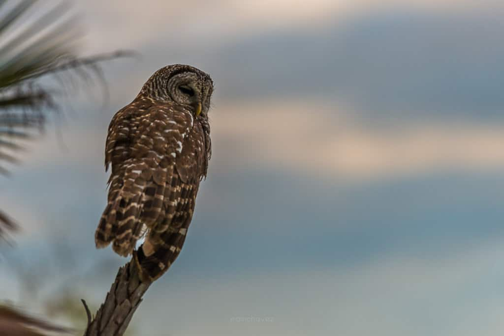 Where to photography owls at the everglades national park