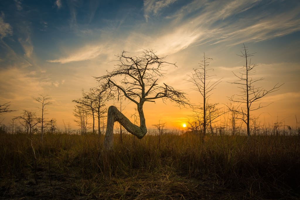 Where is the Z tree in the Everglades